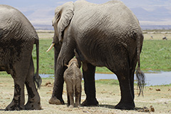 アフリカゾウの親子