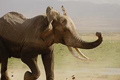 走るアフリカゾウ