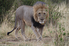 ライオンの雄