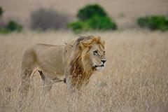 ライオンのオリジナルプリント