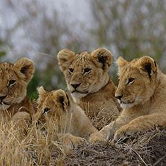 ライオンのフォト作品