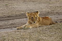 ライオンの子供