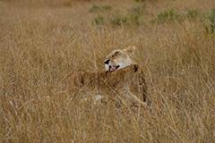 ライオンの雌