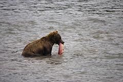 食事をするヒグマ