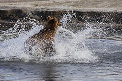 狩りをするヒグマ