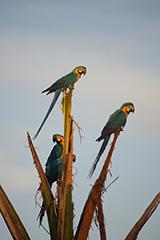 ルリコンゴウインコの群れ