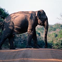 アジアゾウのフォト作品