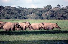 アジアゾウの群れ