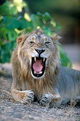 インドライオン