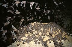 オヒキコウモリの群れ