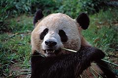 食事をするジャイアントパンダ