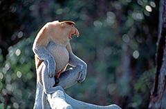 飛翔するテングザル