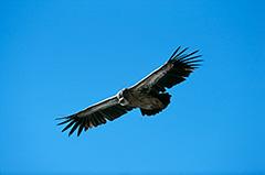 飛翔するヒマラヤハゲワシ