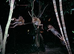 飛翔するフィリピンメガネザル