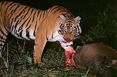 食事をするベンガルトラ