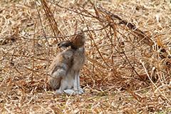 食事をするエゾユキウサギ