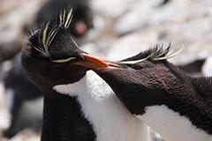 イワトビペンギンのペア