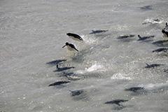 泳ぐイワトビペンギン