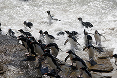 イワトビペンギンの群れ