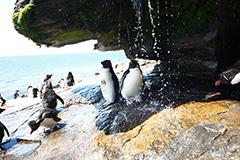 水浴びをするイワトビペンギン