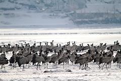オグロヅルの群れ