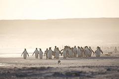 キングペンギンの群れ