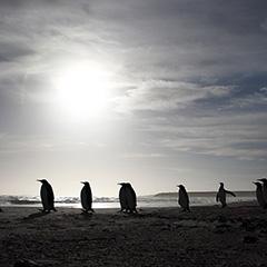 キングペンギンのフォト作品