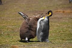雛に給餌するキングペンギン