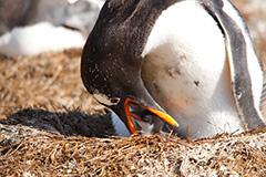 雛に給餌するジェンツーペンギン