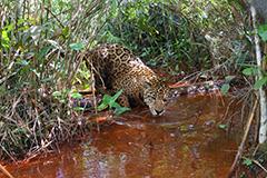 水を飲むジャガー