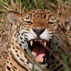 ジャガーのフォト作品