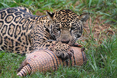 食事をするジャガー