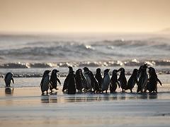 マゼランペンギンの群れ