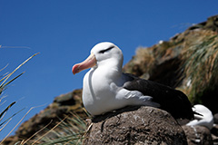 抱卵をするマユグロアホウドリ