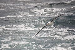 飛翔するマユグロアホウドリ