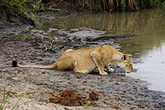 水を飲むライオン