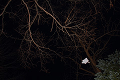飛翔するエゾモモンガ