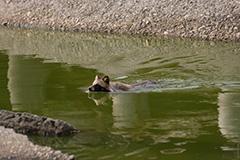 泳ぐホンドタヌキ