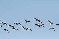 飛翔するシジュウカラガン
