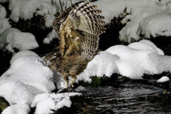 狩りをするシマフクロウ