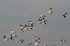 飛翔するハクガン