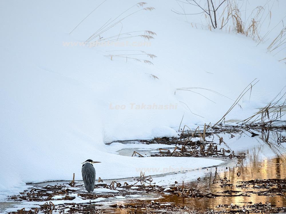 アオサギの写真素材