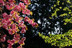 八重桜のオリジナルプリント