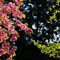 八重桜のフォト作品