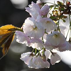 桜のフォト作品