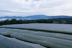 春のホウレンソウ畑
