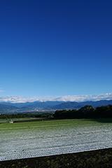 春のレタス畑