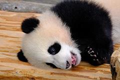 ジャイアントパンダの子供