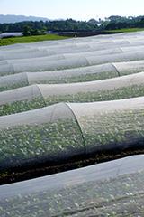 夏のホウレンソウ畑