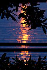 夏のレタス畑の夕景